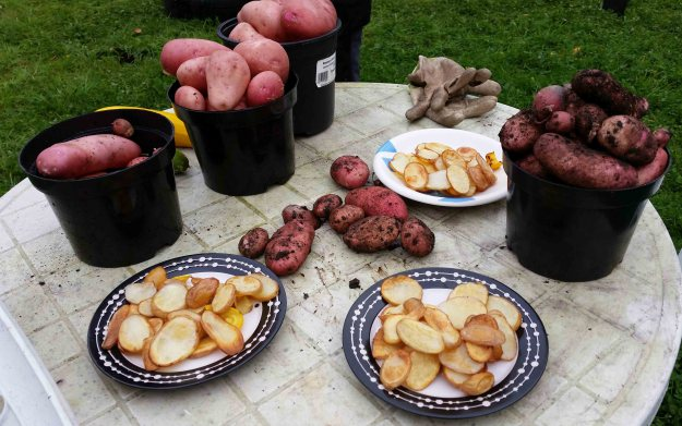 Potatoes-grown-and-eaten-in-Gleann-na-Bearu-Community-Garden